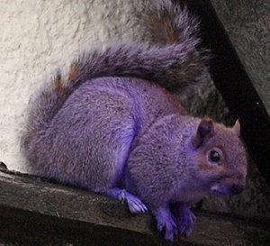 are you looking for a purple squirrel?